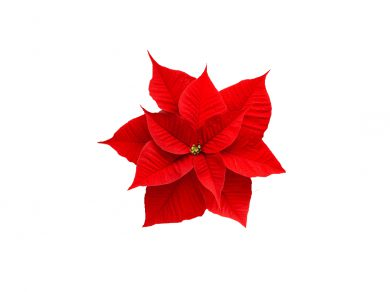 La flor de pascua